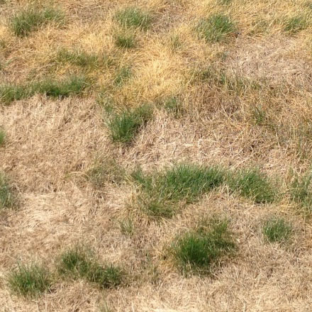 Recognizing The Difference Between Drought Affected Lawns And Pest Infestations